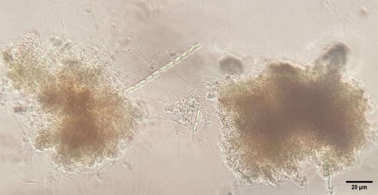 Article image for Efecto de la aireación en el desarrollo de la comunidad microbiana en sistemas de tecnología de biofloc de camarón