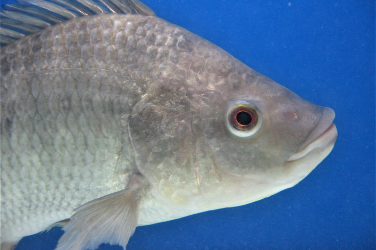 Article image for Tilapia welfare assessment protocol for semi-intensive farms in Brazil