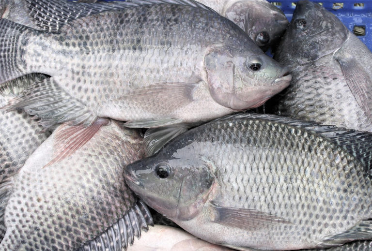 Article image for Effect of feeding during off-flavor depuration on geosmin excretion by Nile tilapia