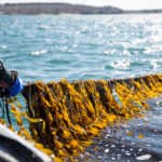 Kelp is the climate-friendly crop that could