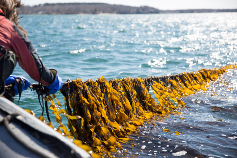 Article image for Kelp is the climate-friendly crop that could
