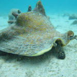 Aquaculture aids the restoration of iconic Caribbean shellfish queen conch