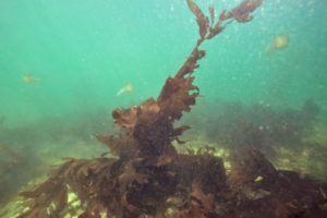 Assessing the effect of four macroalgae inclusions in diets of Pacific white shrimp