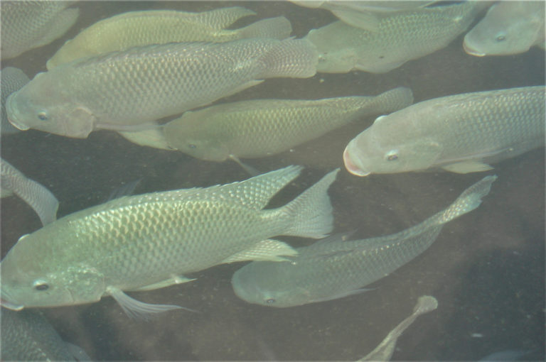 Article image for Heritable variation in swimming performance in Nile tilapia