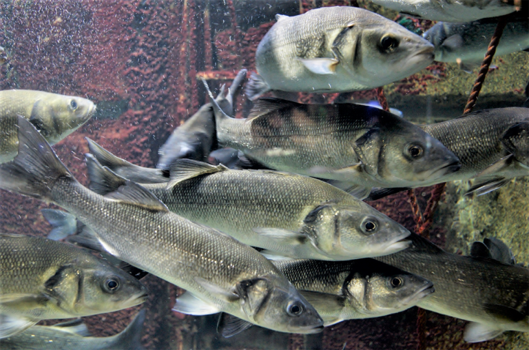Article image for Evaluation of a commercial microbial enhanced protein in European sea bass diets