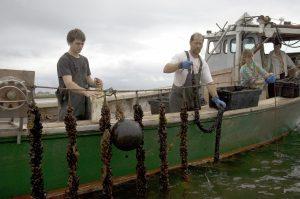 PEI Aquaculture Alliance swaps 87,000 Styrofoam buoys with more sustainable option