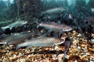 Effects of dietary lipid on the gut microbiota of first feeding Atlantic salmon