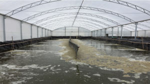 Assessing the effect of temperature on FCR in Pacific white shrimp cultured in biofloc systems