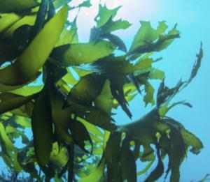 BioMar adopts microalgae into aquafeed, hits 'major sustainability milestone'