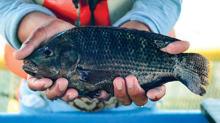 Article image for Regal Springs Tilapia Is World's First Tilapia Producer to Use Traceability Integrating Directly with BAP Certification Systems