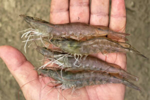 Evaluating Pacific white shrimp strains for variability in quality, nutritional composition