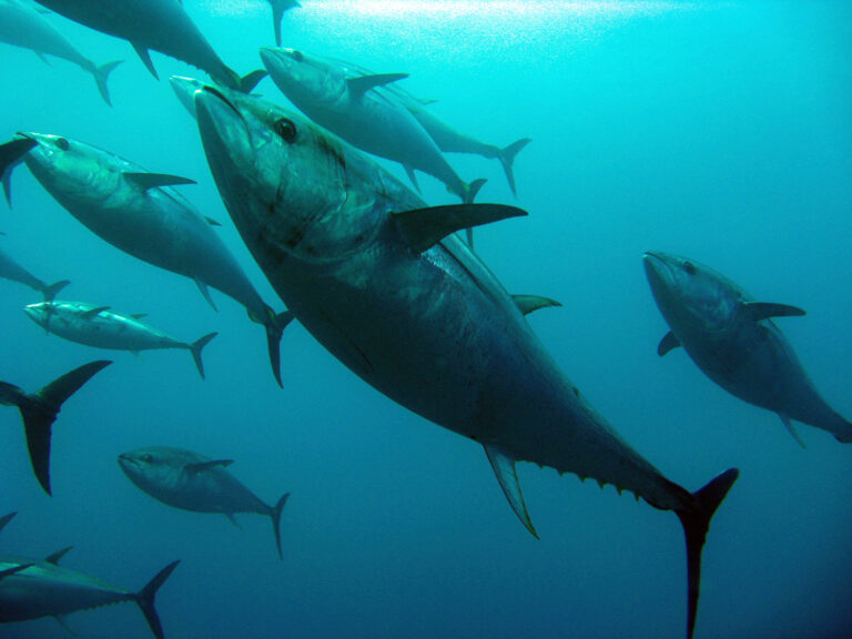 Article image for Conservation groups: No time for tepid action on tuna